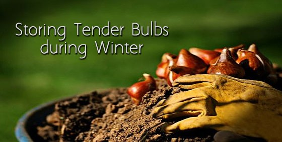 Storing Tender Bulbs During The Winter Landscape Edging Blog