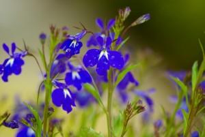Výsledok vyhľadávania obrázkov pre dopyt salvia flower