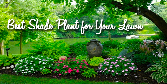 best shade plant for lawn - Copy